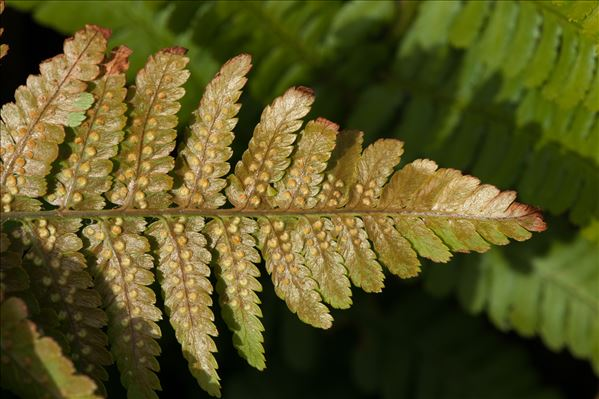 Dryopteris affinis subsp. cambrensis Fraser-Jenk.