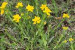 Genista hispanica L. subsp. hispanica