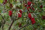Sambucus racemosa L. subsp. racemosa