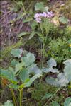 Adenostyles alpina (L.) Bluff & Fingerh. subsp. alpina