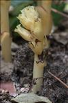 Photo 4/6 Monotropa hypopitys L.