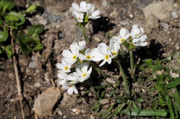 Androsace adfinis subsp. brigantiaca (Jord. & Fourr.) Kress