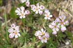 Androsace adfinis subsp. puberula (Jord. & Fourr.) Kress