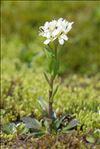 Arabis soyeri subsp. subcoriacea (Gren.) Breistr.