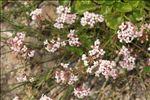 Asperula aristata subsp. longiflora (Waldst. & Kit.) Hayek