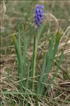 Photo 7/7 Muscari botryoides (L.) Mill.