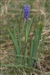 Photo 6/7 Muscari botryoides (L.) Mill.