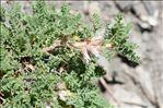 Photo 4/4 Astragalus sempervirens subsp. catalaunicus (Braun-Blanq.) Laínz