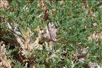 Photo 3/4 Astragalus sempervirens subsp. catalaunicus (Braun-Blanq.) Laínz