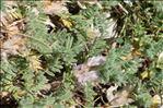 Photo 1/4 Astragalus sempervirens subsp. catalaunicus (Braun-Blanq.) Laínz