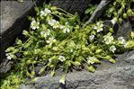 Cerastium pedunculatum Gaudin