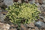 Galium pseudohelveticum Ehrend.