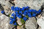Gentiana orbicularis Schur