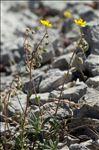 Helianthemum italicum (L.) Pers.