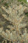 Hippophae rhamnoides subsp. fluviatilis Soest