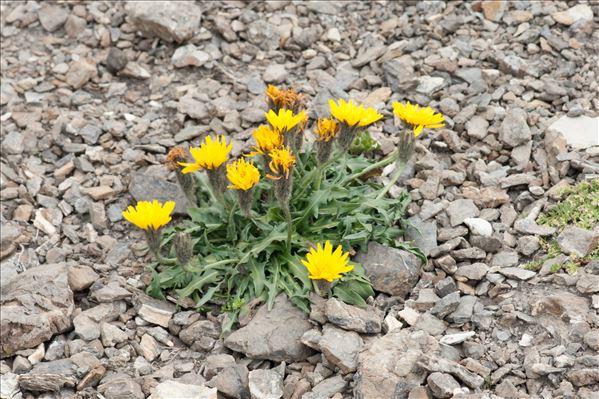 Scorzoneroides montana (Lam.) Holub