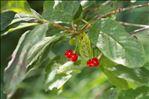 Lonicera alpigena L. subsp. alpigena