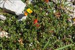 Lotus corniculatus subsp. alpinus (DC.) Rothm.