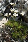 Photo 2/2 Minuartia laricifolia (L.) Schinz & Thell. subsp. laricifolia