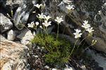 Minuartia laricifolia (L.) Schinz & Thell. subsp. laricifolia