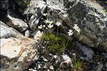 Photo 1/2 Minuartia laricifolia (L.) Schinz & Thell. subsp. laricifolia