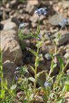 Myosotis decumbens Host subsp. decumbens