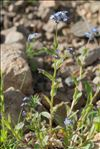 Myosotis decumbens subsp. teresiana (Sennen) Grau