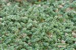 Paronychia kapela subsp. serpyllifolia (Chaix) Graebn.