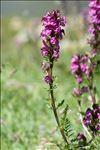 Pedicularis rostratospicata Crantz
