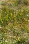 Photo 2/6 Phleum rhaeticum (Humphries) Rauschert