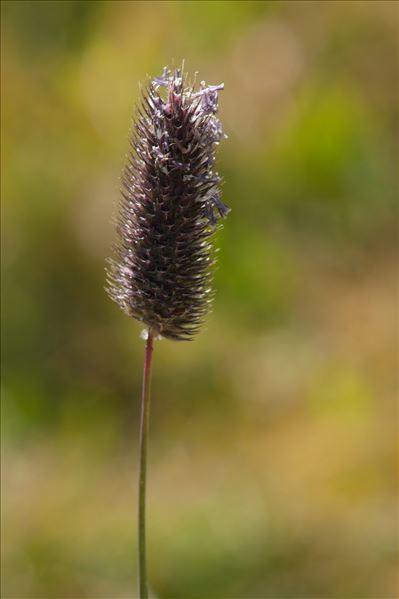 Phleum rhaeticum (Humphries) Rauschert