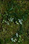 Polygala alpestris Rchb.