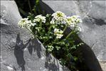 Hornungia alpina (L.) O.Appel subsp. alpina