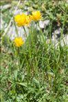 Ranunculus carinthiacus Hoppe