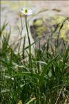 Ranunculus kuepferi Greuter & Burdet subsp. kuepferi