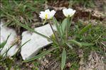 Ranunculus kuepferi Greuter & Burdet