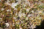 Salix serpyllifolia Scop.