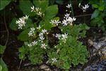 Micranthes stellaris (L.) Galasso, Banfi & Soldano