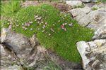 Photo 4/5 Silene acaulis subsp. bryoides (Jord.) Nyman