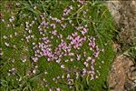 Photo 3/5 Silene acaulis subsp. bryoides (Jord.) Nyman