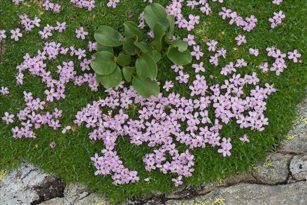 Silene acaulis subsp. bryoides (Jord.) Nyman