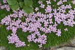 Photo 2/5 Silene acaulis subsp. bryoides (Jord.) Nyman