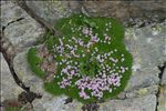 Photo 10/16 Silene acaulis (L.) Jacq.