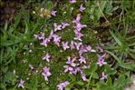 Photo 5/5 Silene acaulis subsp. bryoides (Jord.) Nyman