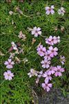Photo 3/5 Silene acaulis subsp. longiscapa Vierh.