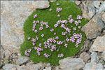 Photo 2/5 Silene acaulis subsp. longiscapa Vierh.