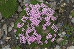 Photo 1/5 Silene acaulis subsp. longiscapa Vierh.