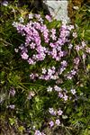 Photo 15/16 Silene acaulis (L.) Jacq.