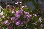 Silene acaulis subsp. longiscapa Vierh.