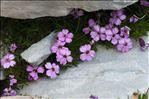 Photo 5/5 Silene acaulis subsp. longiscapa Vierh.